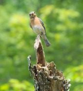 Eastern bluebird at apex of tree trunk
